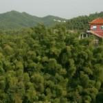 Hunan Bamboos 13