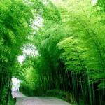 Hunan Bamboos 4
